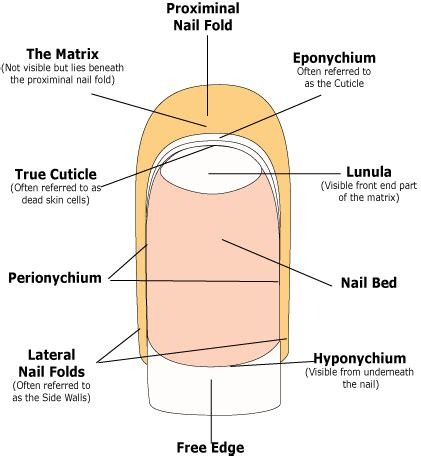 nail bed anatomy perionychium like you ve got something better to do