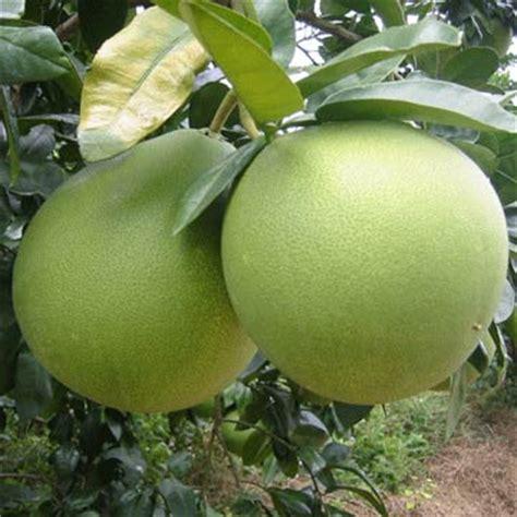 Bibit Jeruk Pamelo Thailand jual bibit jeruk bali madu pamelo buahnya aneka bibit tanaman unggulan dan aneka usaha
