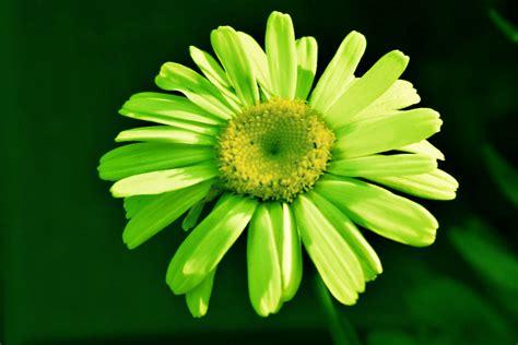 green daisy  playing    white daisy