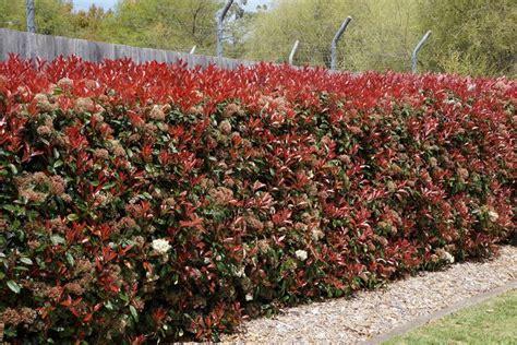 nana da giardino photinia siepe piante da giardino caratteristiche