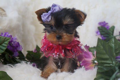 yorkie mn teacup terrier mn photo