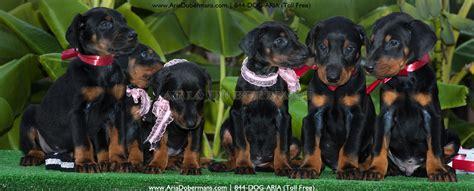 doberman puppies houston dobermans