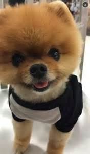jiff instagram jiffpom nominated dog award wins thursday
