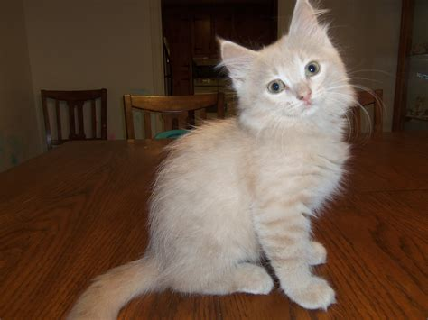 and kitten purrfect siberians picture purrfect purebred siberian cats and kittens page 2