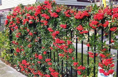 Blumen Für Vorgarten by Inspiration Schnellwachsende Heckenpflanzen Konzept