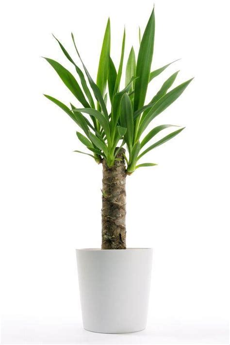 interior plant yucca elephantipes indoor yucca tree approx 100cms