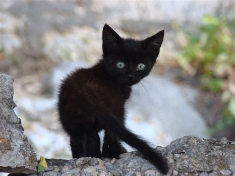 black kitten wallpaper hot spicy stuuning hd wallpapers cats and kittens