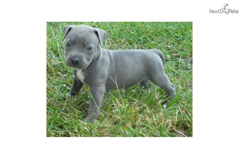 bully pitbull puppies for sale in houston tx bully pitbull puppies for sale in houston tx driverlayer search engine