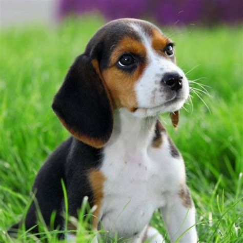 beagle alimentazione il beagle nano cani taglia media caratteristiche