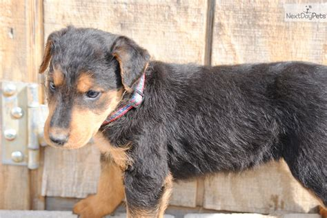 airedale puppies for sale ohio airedale terrier puppy for sale near columbus ohio f4f5069b 0651