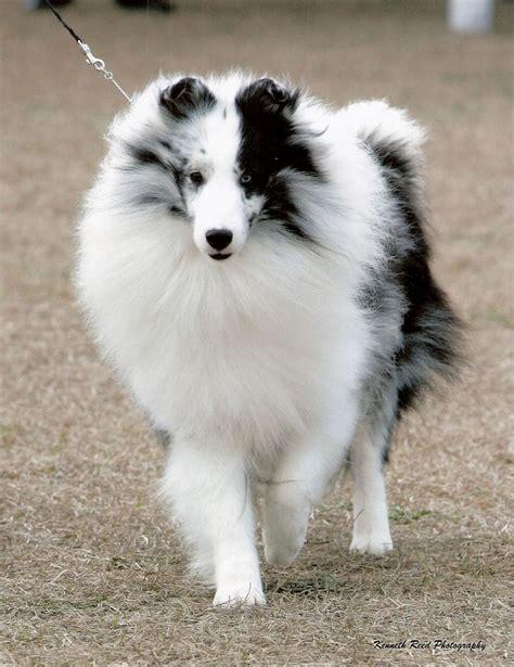 Do Shelties Shed by 220 Ber 1 000 Ideen Zu Shetland Sheepdog Auf Pinterest Collie Blue Merle Und Shetland
