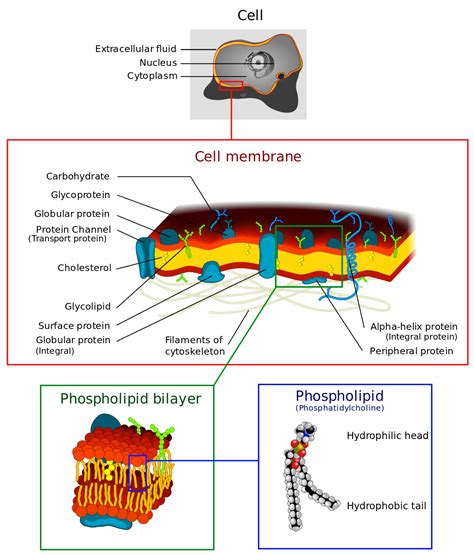 cell membrane labeled diagram cell membrane