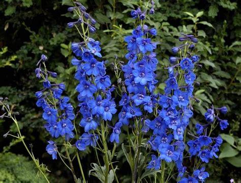 delphinium fiore delphiniums how to plant grow and care for delphinium