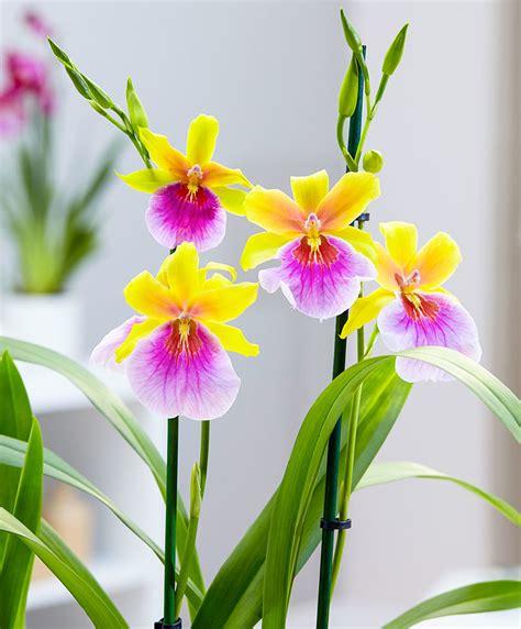manutenzione orchidee in vaso orchidea miltonia sunset