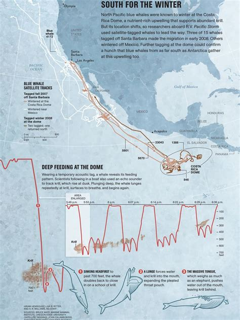 migration pattern of blue whale south for the winter national geographic society