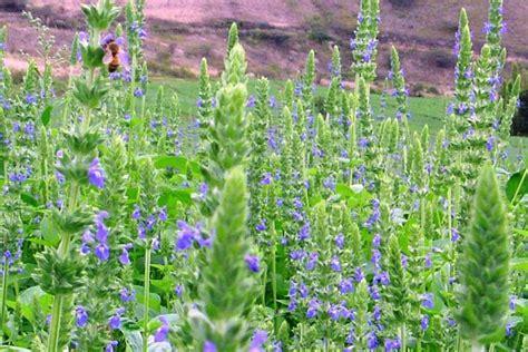 Growing Chia Salvia Hispanica Quiet Corner Chia Flower Garden