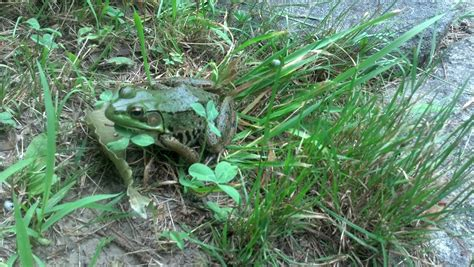 how to get rid of frogs in backyard 100 how to get rid of frogs in backyard how to get