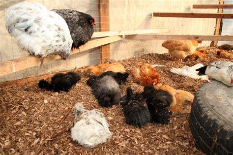 backyard orgy chicken orgy