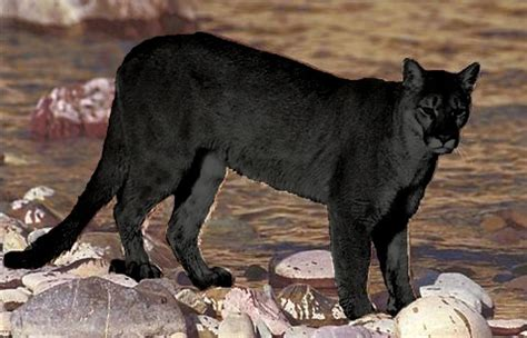 what color is a panther shukernature walt disney and the black that never was