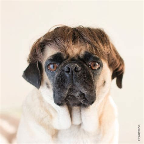 haired pug pictures 17 best images about for the of my pug on pug pug and pets