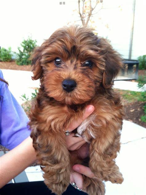 cost of yorkie poo best 25 yorkie poo puppies ideas on yorki poo yorkie poodle and yorkie
