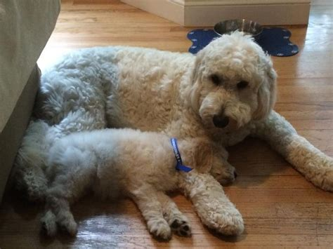 central indiana poodle rescue best 25 f1b goldendoodle ideas on