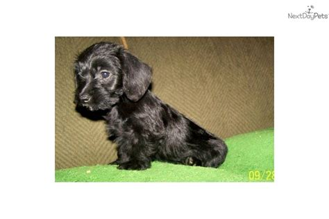 doxiepoo puppies for sale meet baby a dachshund mini puppy for sale for 199 doxiepoo