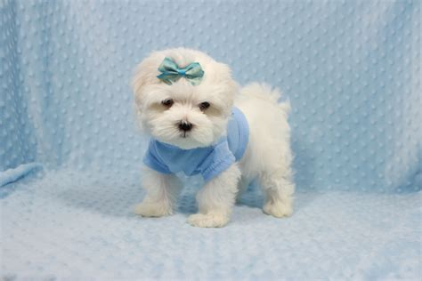 maltipoo puppies craigslist teacup maltipoo puppies for sale in las vegas breeds