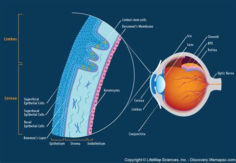 anatomy  structure   adult human cornea