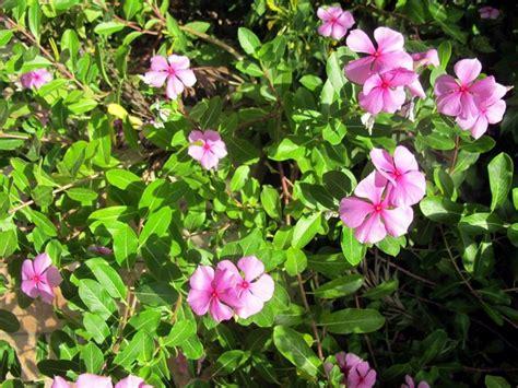 colore fiori pervinca colore piante perenni la pervinca e il suo colore