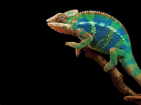 colorful chameleon hd wallpapers  wallpaperscom