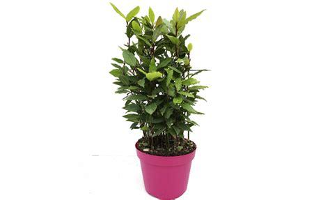 pianta di alloro in vaso pianta di alloro laurus nobilis in vaso 14 savini