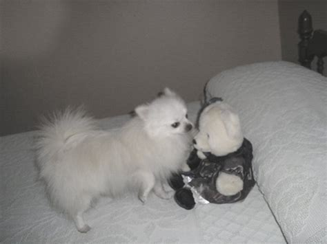 pomeranian puppies for sale florida pomeranian puppies for sale in florida poms to go i pomeranian s