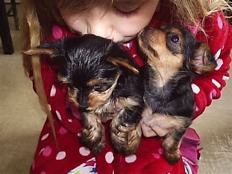 teacup yorkie for sale craigslist teacup yorkie pups for sale west midlands breeds picture
