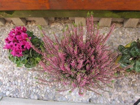 erica in vaso giardino mediterraneo progettazione giardini giardino