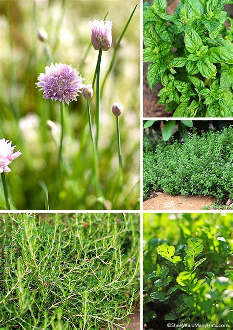how to grow a herb garden tips for growing a culinary herb garden