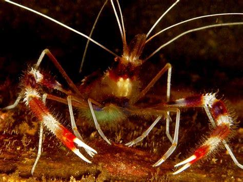 Udang Pembersih Foto Coral Banded Shrimp Sang Udang Pembersih Mongabay
