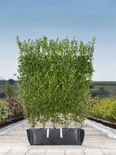 Hedge Planter Bag Large ligustrum ovalifolium privet readyhedge ltd