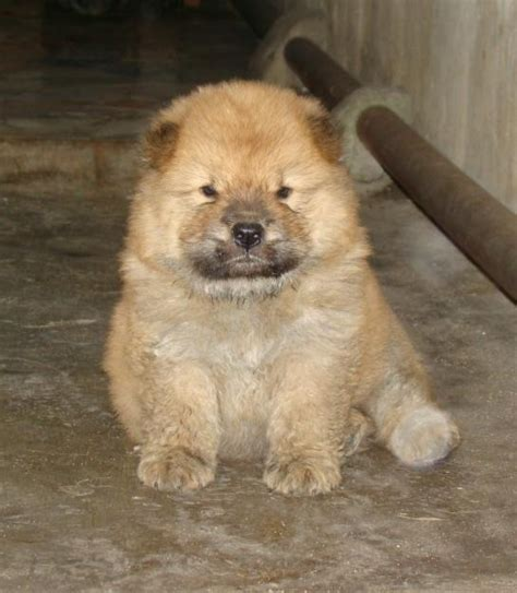 fuzzy chow chow puppy 27 chow chow puppies fuzzy for their own