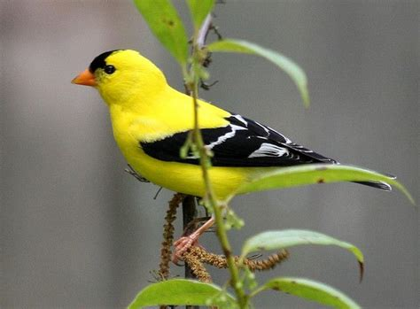 american goldfinch male yellow bird birds pinterest