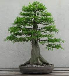 bald cypress bonsai forest submited images