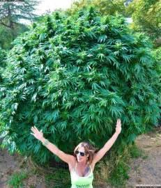Most potent marijuana to marijuana he s smoking entire trees