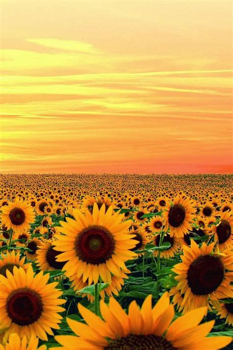 sunflower fields 25 best ideas about sunflower fields on gogh sunflowers gogh paintings and
