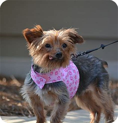 nc yorkie rescue nc yorkie terrier meet grace a for adoption