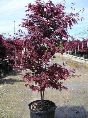 acer palmatum bloodgood bloodgood japanese maple
