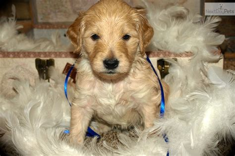 doodle name rhea goldendoodle profile breeds picture