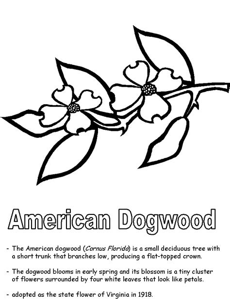 coloring page of dogwood flowers american dogwood coloring page