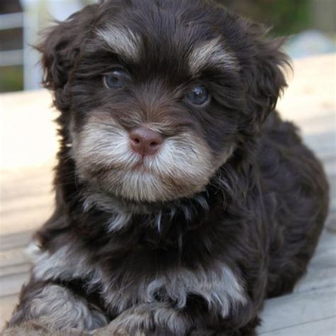 chocolate havanese puppies for sale havanese teddy bears home