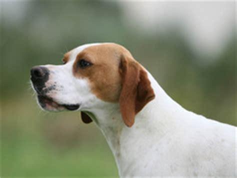 Pointer anglais : chien et chiot - Wamiz