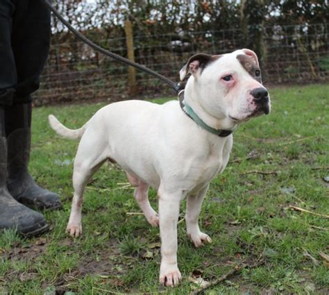 staffordshire bull terrier puppies for adoption spud 11 year staffordshire bull terrier for adoption